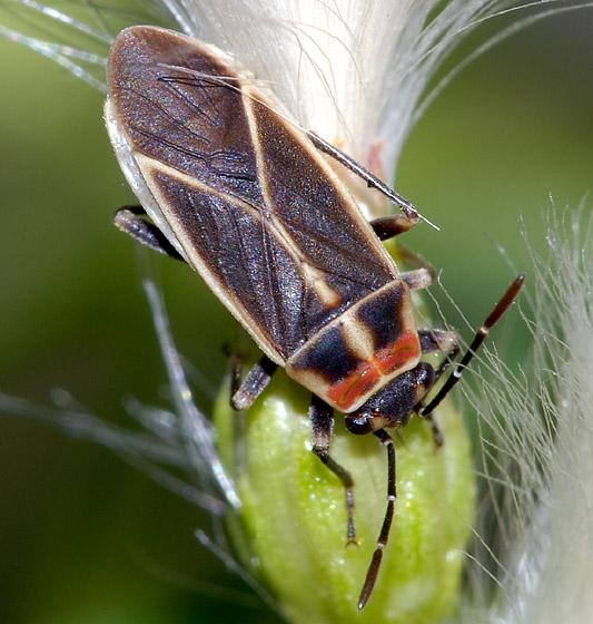 Plant Bug - Ochrimnus mimulus
