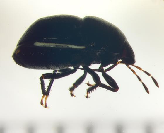 Thyreocoridae - Corimelaena
