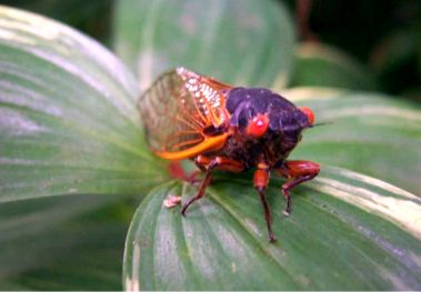 Periodic Cicada (Magicicada septendecim) - Magicicada septendecim