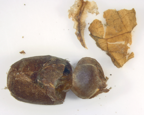 Yellow-shouldered slug, cocoon - Lithacodes fasciola