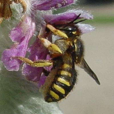 Anthidium manicatum - female