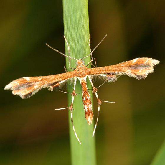 Himmelman's Plume Moth - Geina