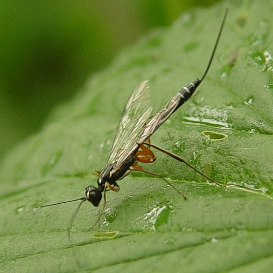 Wasp - Neoxorides caryae - female