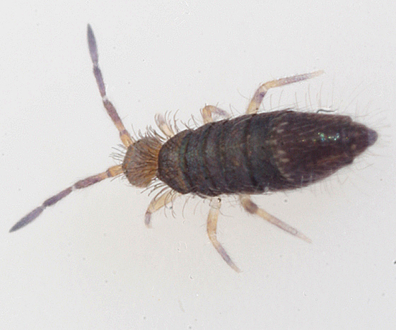 springtail - Willowsia buski