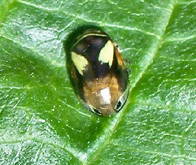 Dogwood spittlebug? - Clastoptera proteus