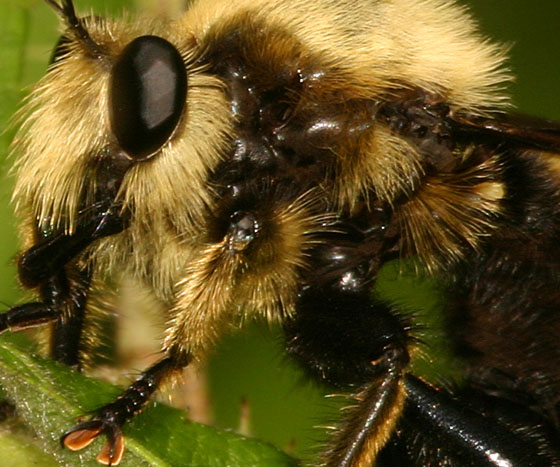 Laphria Sp551.jpg magnified - Laphria grossa - male