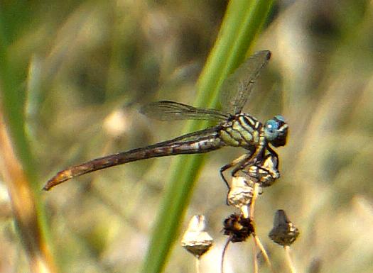 Russet-tipped Clubtail - Stylurus plagiatus - female