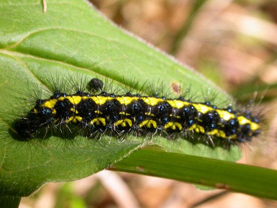 Lake Sonoma Caterpillar - Gnophaela latipennis