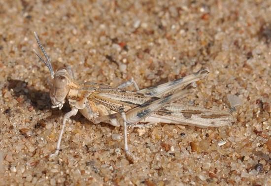 Spaniacris deserticola - male