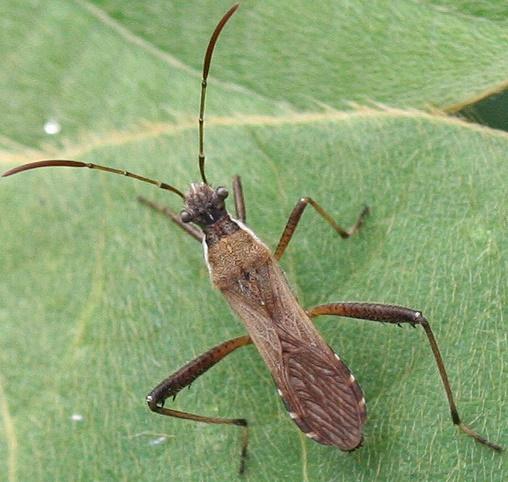 Broad-headed Bug - Alydus pilosulus