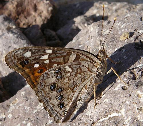 Empress Leilia - Asterocampa leilia - female
