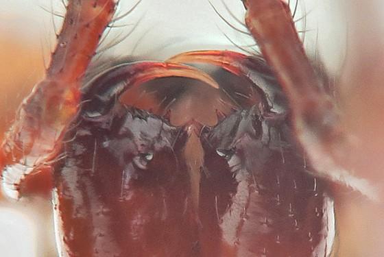 Spider - Robertus vigerens - female