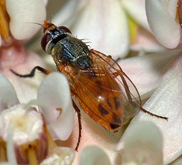 Subfamily Phaoniinae?  - Atherigona reversura
