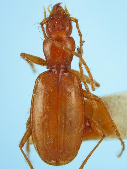 Pseudanophthalmus tenuis Horn - Pseudanophthalmus tenuis
