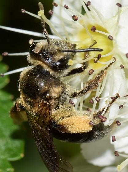 unidentified dark bee - Andrena crataegi
