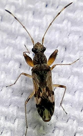 seed bug - Neopamera albocincta