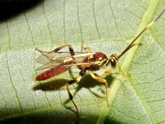 Ichneumon Wasp - Cratichneumon - male