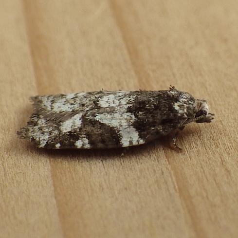 Tortricidae: Acleris variana - Acleris variana
