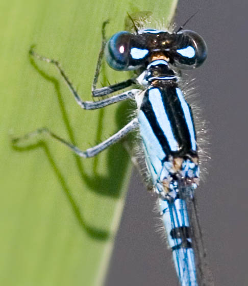 Bluet on Cattail - head - Enallagma ebrium - male