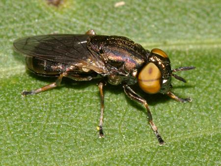 Syrphid - Orthonevra - female