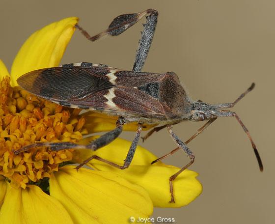 Leptoglossus clypealis