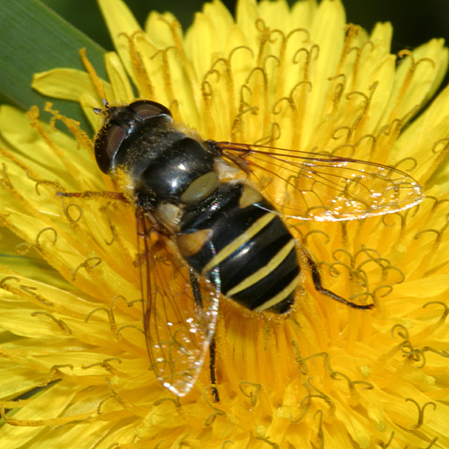 syrphid fly - Eristalis transversa - female