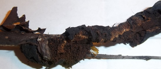 Borer in black knot gall on cherry (Prunus sp.) - Synanthedon pictipes