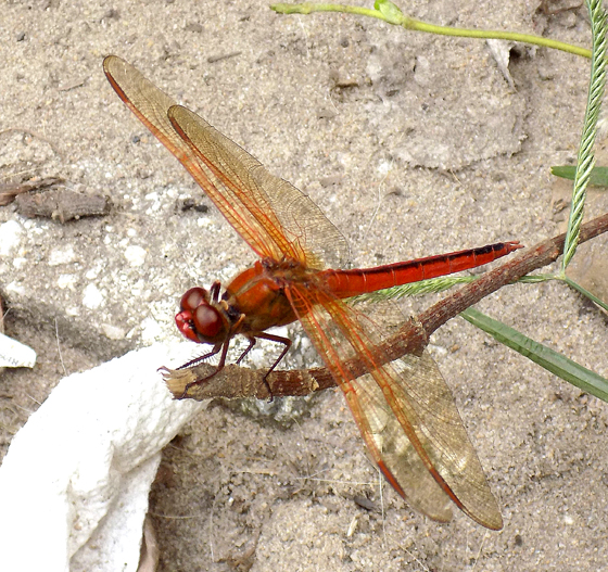 Red Dragonfly - Libellula - male