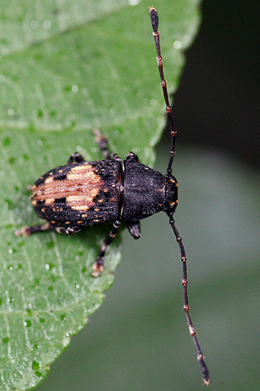 fungus weevil - Piesocorynus plagifer - male