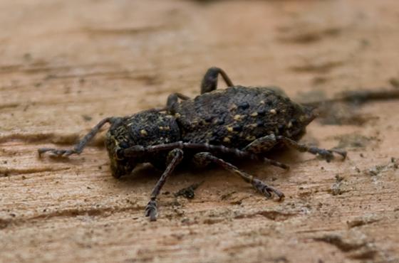 Long Horned Beetle? - Plectrura spinicauda