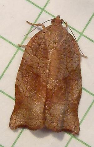 995  Archips podana [T] - Large Fruit-tree Tortrix 3668.97 - Archips podana