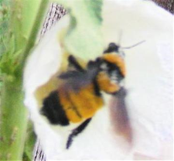 Which Bumble Bee - Bombus sonorus