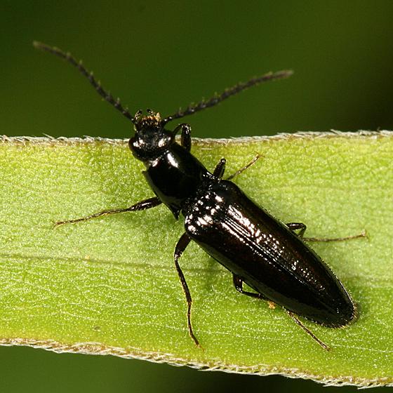 small click beetle - Oestodes tenuicollis