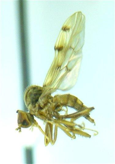 Empididae? - Syneches simplex