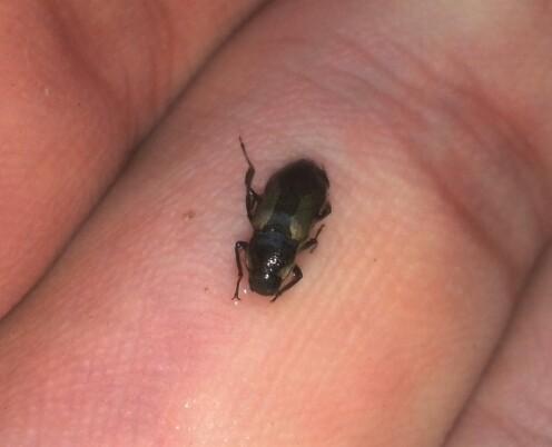 Water beetle? - Helichus