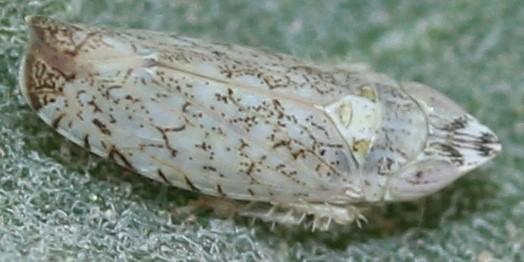 Scaphytopius on brittlebush (Encelia farinosa) - Scaphytopius desertanus