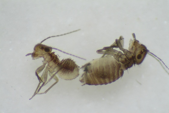 Ectopsocus vachoni Badonnel - Ectopsocus vachoni - male - female