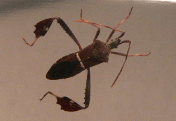 Hungry True Bugs? - Leptoglossus phyllopus