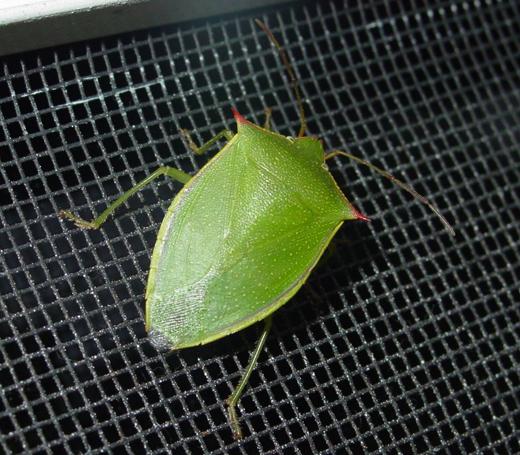 Stink Bug -- Loxa sp? - Loxa flavicollis
