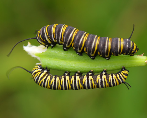 Monarch Caterpillars - Danaus plexippus