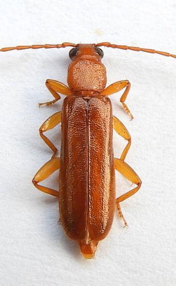 Pennsylvania Beetle  - Smodicum cucujiforme