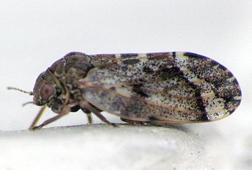 Mottled Hopper - Pachypsylla