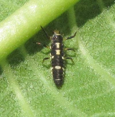 Coccinellinae larva - Propylea quatuordecimpunctata