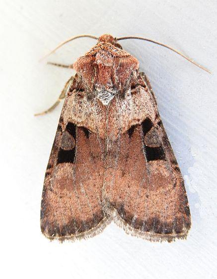 Arizona Moth - Richia serano