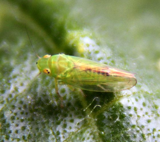 Leafhoppers (Cicadellidae) - Neocoelidia