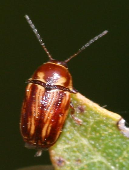 Leaf Beetle - Cryptocephalus incertus