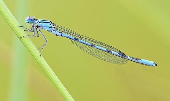 Enallagma ebrium - Marsh Bluet - Enallagma ebrium - male