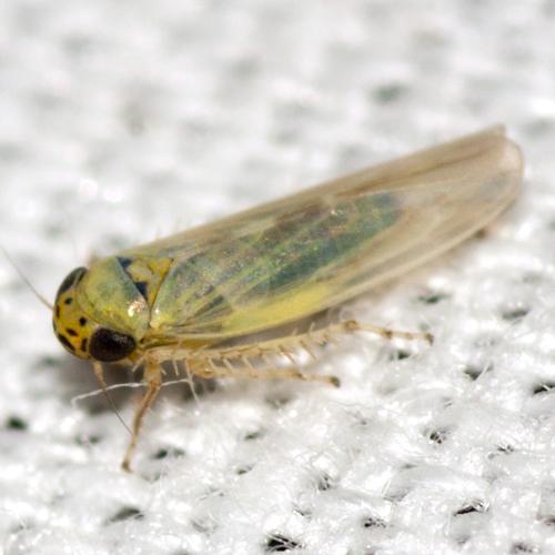 Aster Leafhopper - Macrosteles
