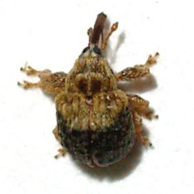 Oak-Mistletoe Weevil - Cionomimus insolens