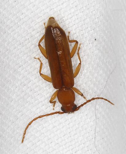 Coleoptera - Smodicum cucujiforme